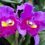 カトレアの花言葉は色によってどう違う?意味や由来と育て方も!